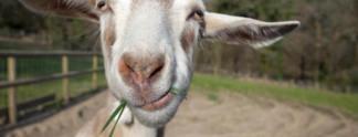 Goat Simulator (XOne) Die teuflische Ziege