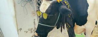 Bagra: Spielehersteller verschenkt Kuh