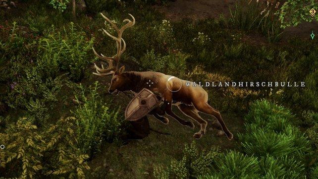 Ein Wildlandhirschbulle ist an seinem Geweih zu erkennen.