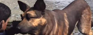 Fallout 4: Dogmeat ist unsterblich (Video)