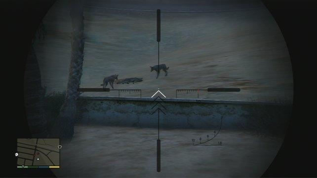 Zum Schluss sind drei Kojoten dran.