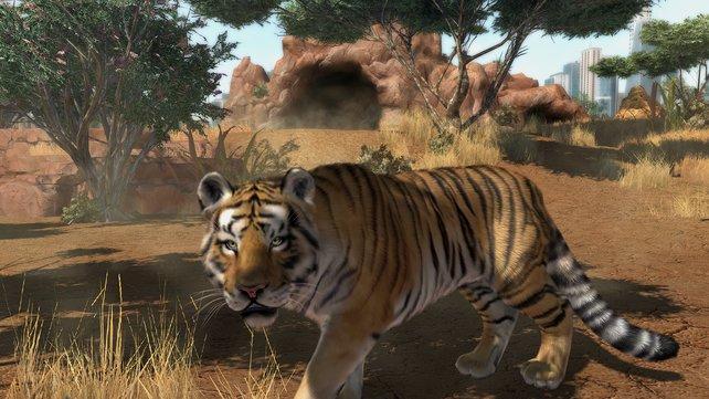 Der Königstiger streift allein durch sein Gehege.